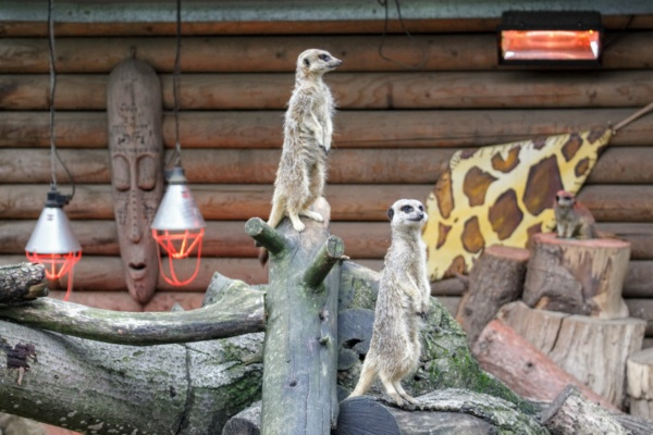 The Meerkats having a little look around