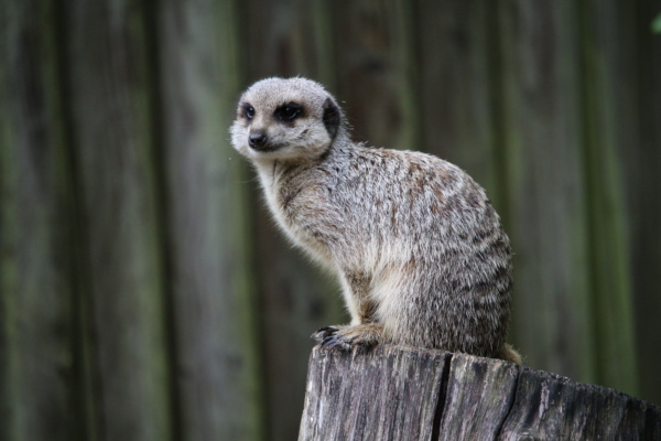 One of the many Meerkats