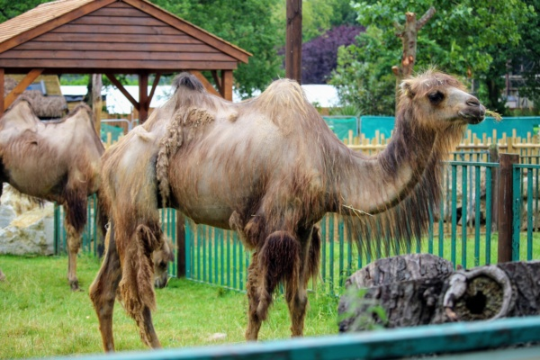 One of the One of the Bactrian Camels shedding its coat.