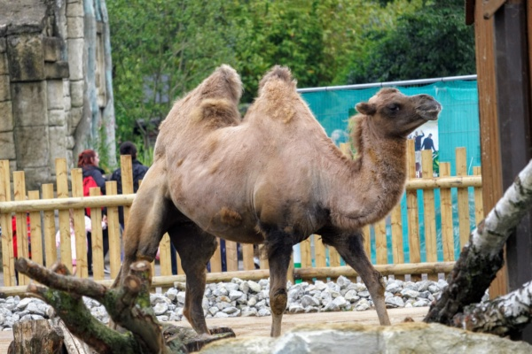 One of the Bactrian Camel