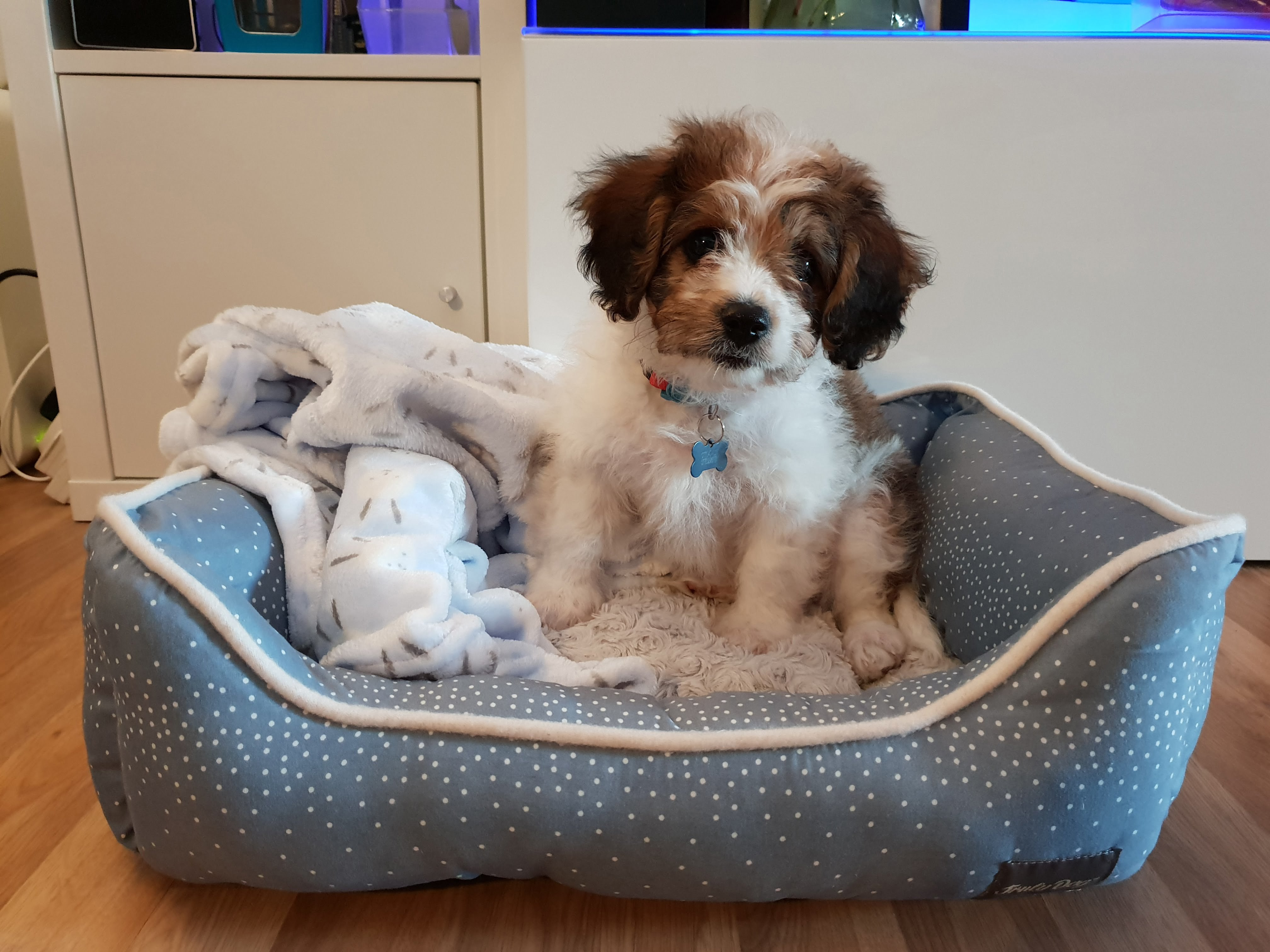 Duggee the Cavachon in his Bed
